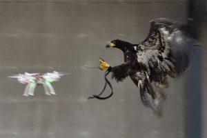 eagle/drone