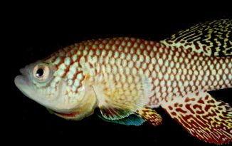 African fish holds key to extended life
